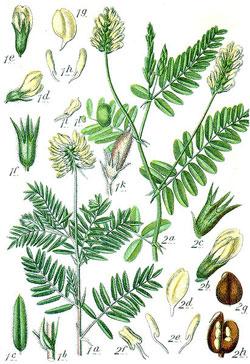 Astragalus-Plant-Illustration