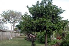 Atemoya-tree