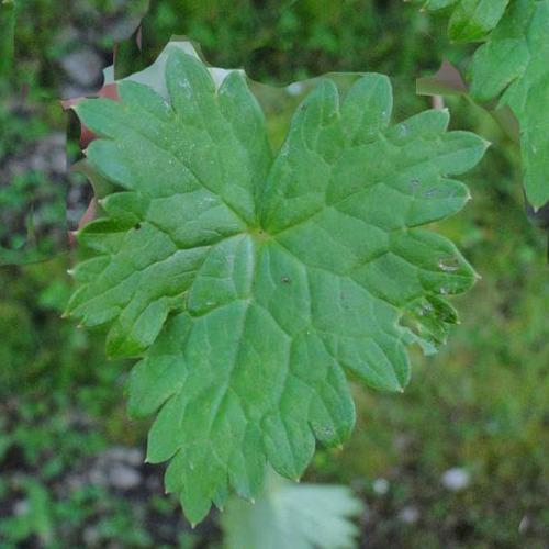Leaf-of-Ativisha