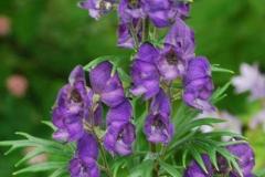 Flowers-of-Ativisha