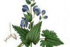 Plant-illustration-of-Ativisha