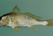 Atlantic-Croaker-1