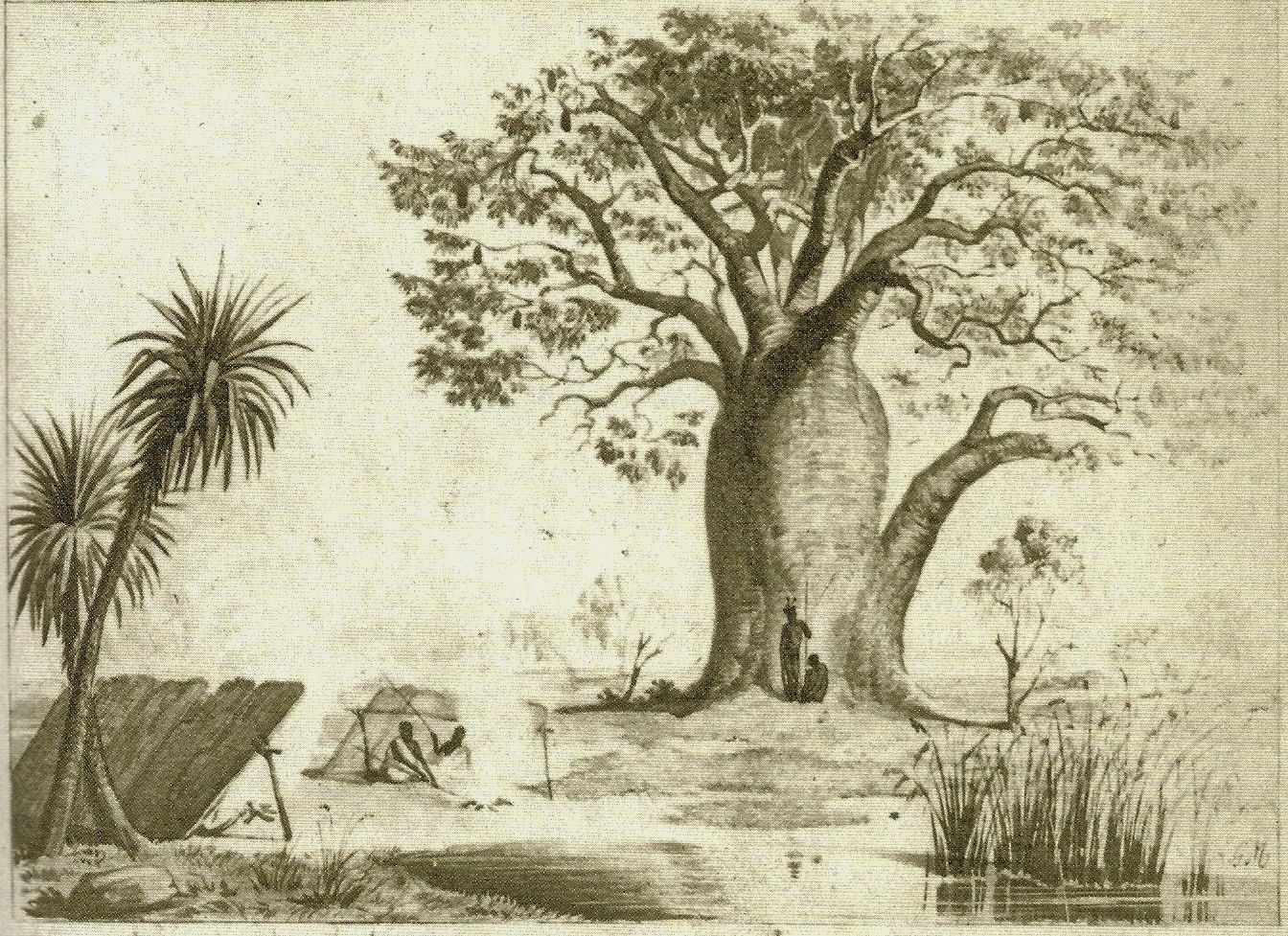 Plant-illustration-of-Australian-baobab
