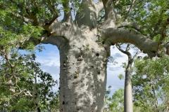 Australian-baobab-trunk
