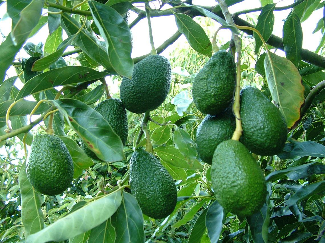 fruit leather avocado fruit