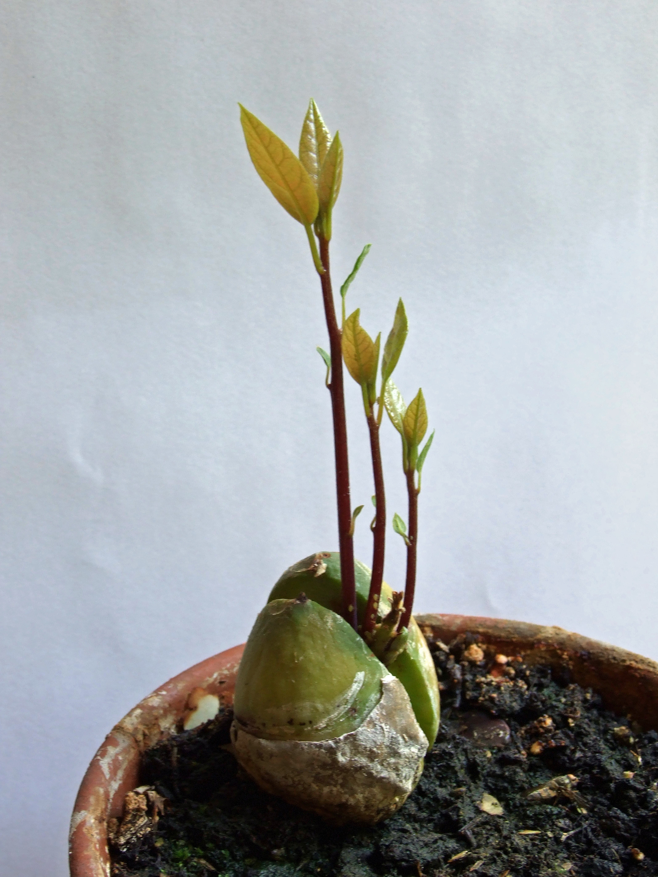 Avocado-sprouts-You Li