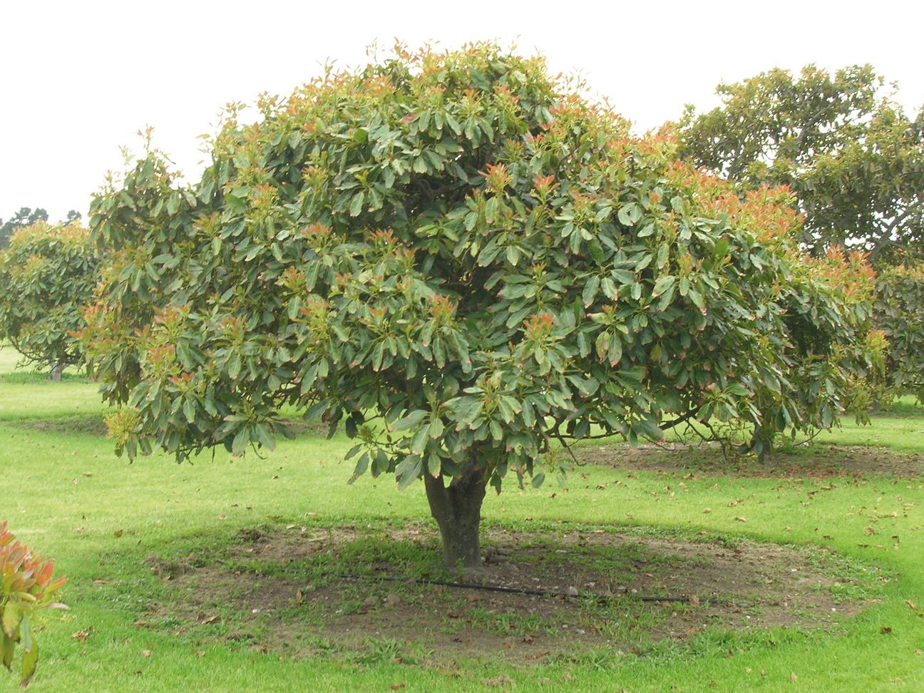 Avocado-tree-Āpoka