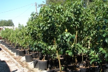 Avocado-farm-Avocado Pear