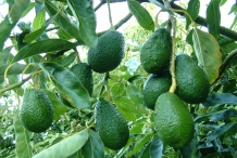 Avocado-fruit-Advocaat