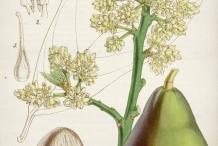 Avocado-illustration-Abacate