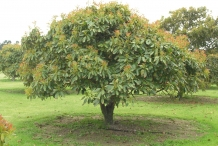 Avocado-tree-Āpoka