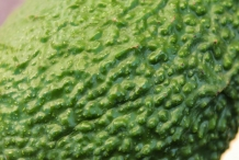 Avocado-texture-Zhang Li