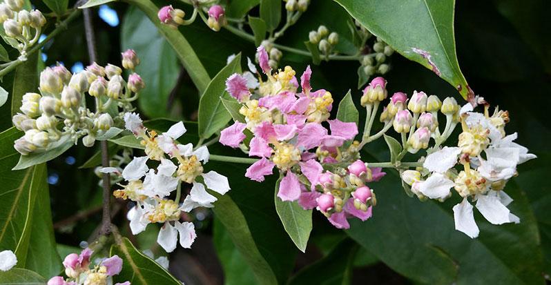 Flowers-of-Ayahuasca