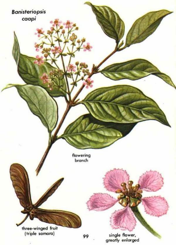 Plant-illustration-of-Ayahuasca