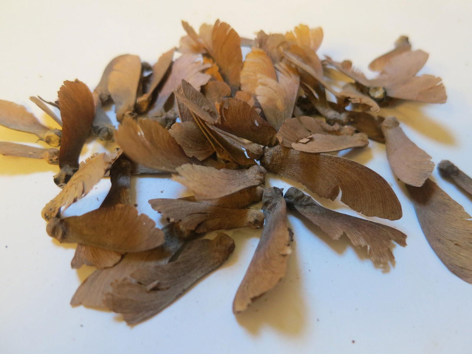 Seeds-of-Ayahuasca
