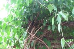 Ayahuasca-plant