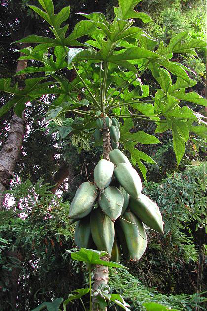 Unripe-Babaco-in-the-tree