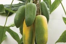 Babaco-fruit