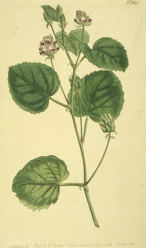 Plant-illustration