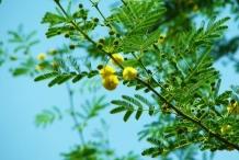 Babool-Nile acacia