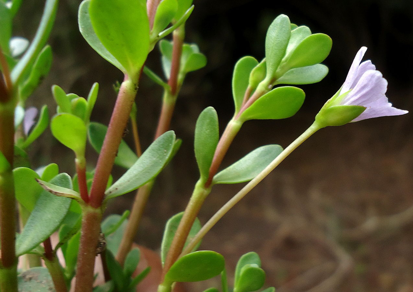 Branches-of-Bacopa-plant