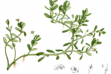 Bacopa-Plant-Illustration