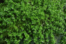 Bacopa-bushes