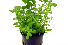 Bacopa-plant-on-the-pot