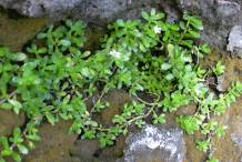 Small-Bacopa-plant