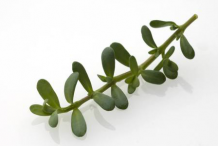 Leaves-of-Bacopa-plant