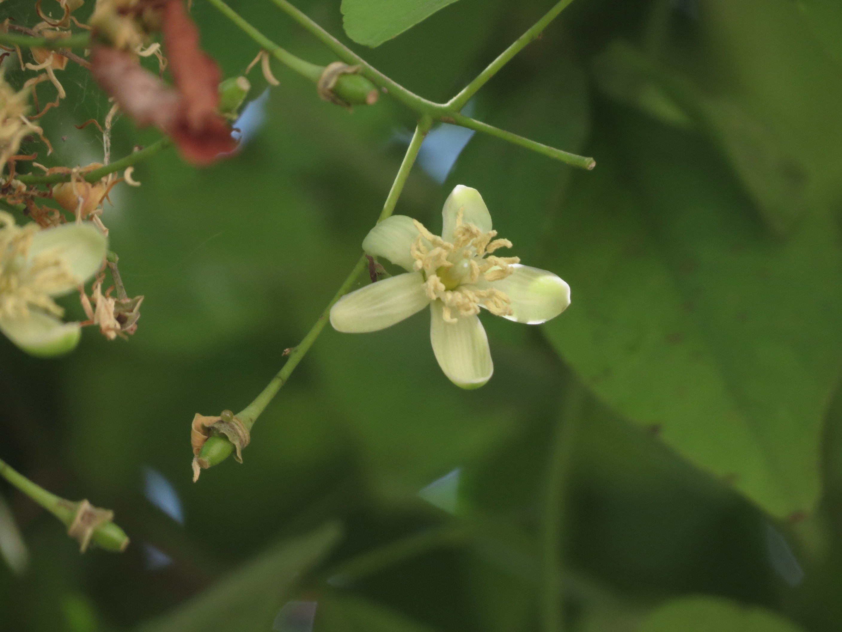 Close-up-flower-of-Bael