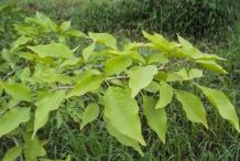 Leaves-of-Bael-fruit