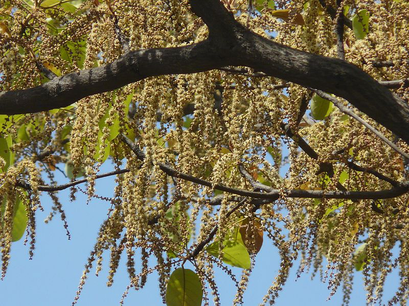 Baheda-tree-during-flowering-season
