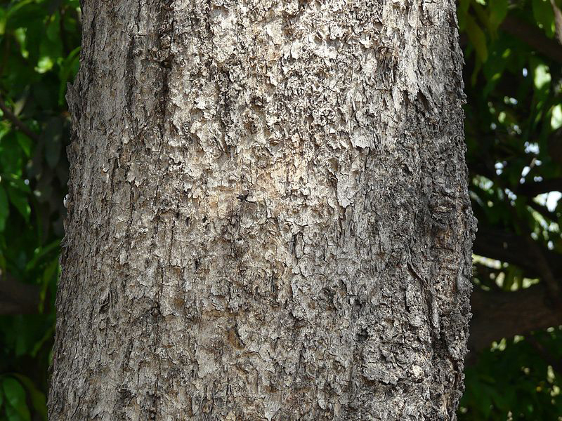 Bark-of-Baheda-tree