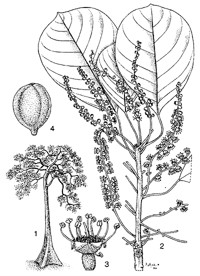Plant-illustration-of-Baheda