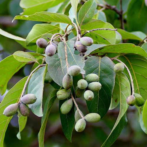 Unripe-Baheda-fruit-on-the-tree