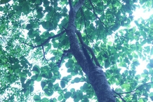 Baheda-Tree