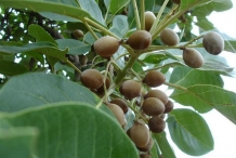 Baheda-fruit-on-the-tree