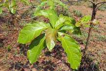 Leaves-of-Baheda-tree