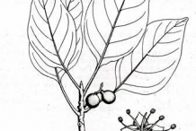 Sketch-of-Baheda-plant