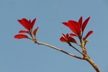Young-Leaves-of-Baheda