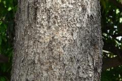Bark-of-Baheda-tree