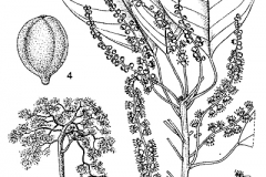 Plant-illustration-of-Baheda