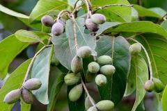 Unripe-Baheda-fruit-on-the-tree