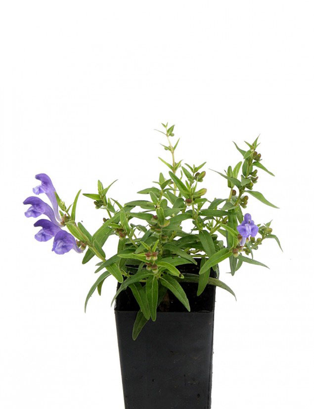 Baical-Skullcap-grown-on-the-pot