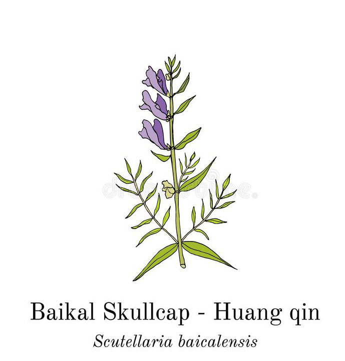 Plant-Illustration-of-Baical-Skullcap