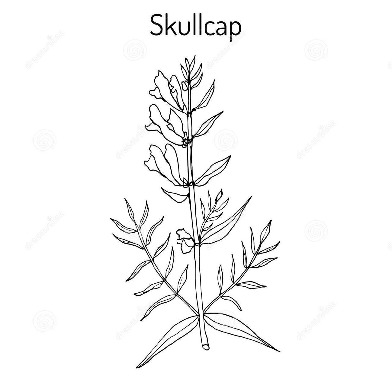 Sketch-of-Baical-Skullcap