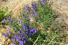 Baical-Skullcap-plant-growing-wild