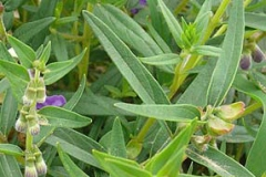 Leaves-of-Baical-Skullcap