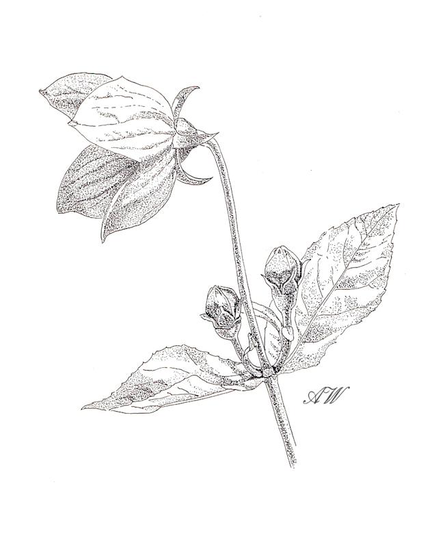 Balloon-Flower-Sketch